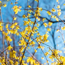 Lynwood Gold Forsythia Hedge