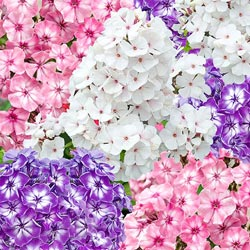 Giant Phlox Mix