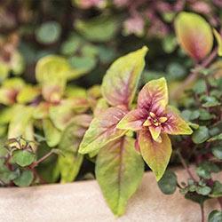 Autumnale Fuchsia