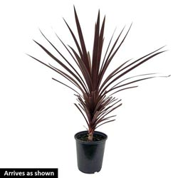 Red Sensation Cordyline