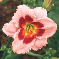 Wineberry Candy Daylily