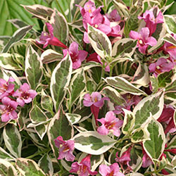 My Monet® Weigela