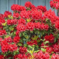 Hershey's Red Azalea