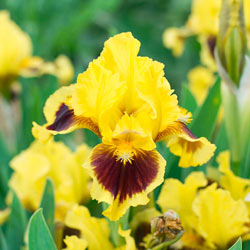 Ultimate Miniature Bearded Iris