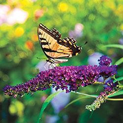 Butterfly Bush Trio