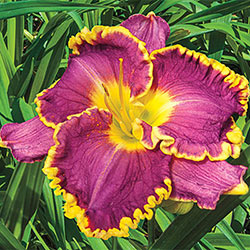Unique Daylily Trio