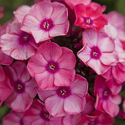Fabulous Garden Phlox Collection