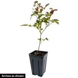 3-In-1 Miniature Rose