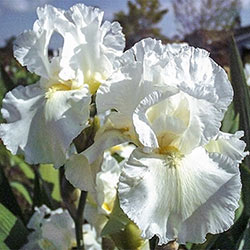 Frequent Flyer Reblooming Bearded Iris