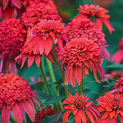 Mandarin Double Scoop™ Coneflower