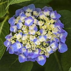 Blue Jangles® Reblooming Hydrangea