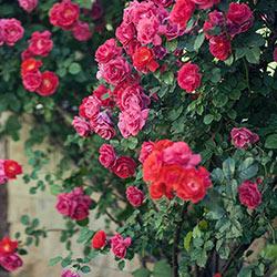 Climbing Rainbow of Roses