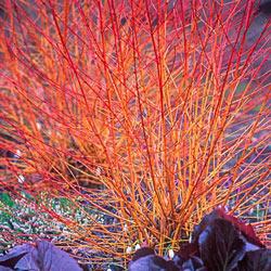 Midwinter Fire Dogwood