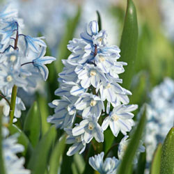 Striped Squill