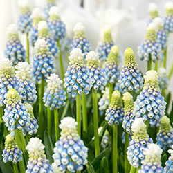 Mountain Lady Grape Hyacinth