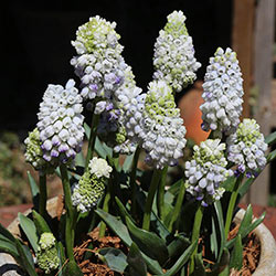 Double Beauty Grape Hyacinth