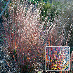 Standing Ovation Little Bluestem