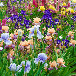 Bearded Iris Landscape Mix