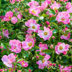 Pink Snowflakes™ Shrub Rose