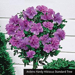 Lollipop Hibiscus Standard Trio