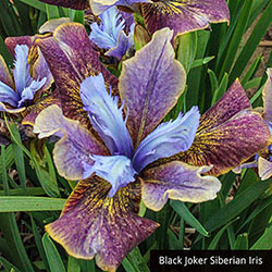 Iris Express Collection