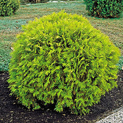 Golden Globe Arborvitae Starter Hedge