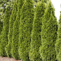 Emerald Green Arborvitae Starter Hedge