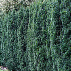 Hicks Yew Starter Hedge