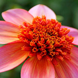Totally Tangerine Dahlia