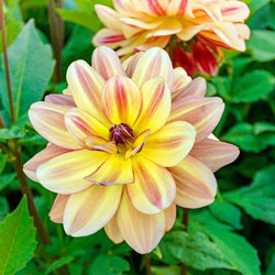 Happy Butterfly Dahlia