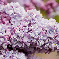 President Grevy Lilac