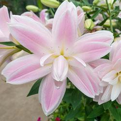Lotus Breeze Lily