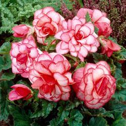 Bouton de Rose Begonia