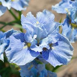 Mission Bay Siberian Iris
