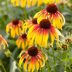 Fiery Meadow Mama Coneflower