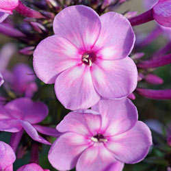 Rainbow Dancer Tall Phlox