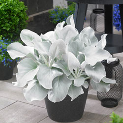 Angel Wings® Senecio