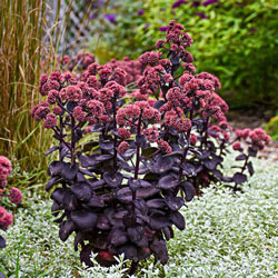Night Embers Sedum