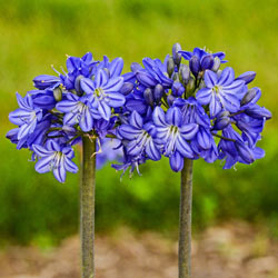 Galaxy Blue Agapanthus