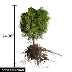Little Giant Jumbo Hedge
