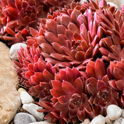 Coral Red Hens & Chicks