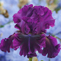 For Veronica Bearded Iris
