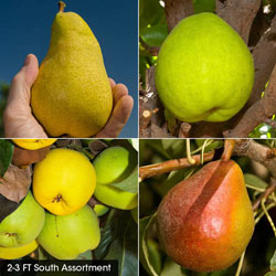 Pear Fruit Tree Assortments