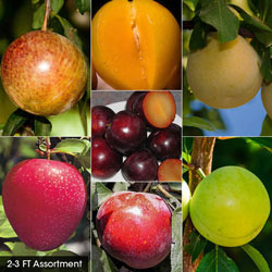 Plum Fruit Tree Assortment