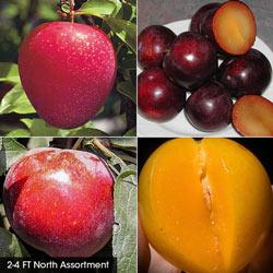 Plum Fruit Tree Assortment