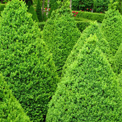 Boxwood Green Mountain Hedge