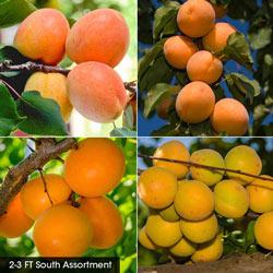 Apricot Fruit Tree Assortments