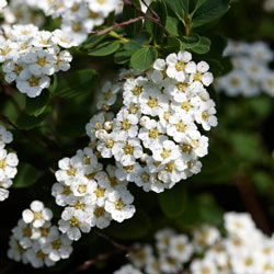 Spirea Snowmound White