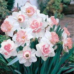 Pink Daffodil Mix