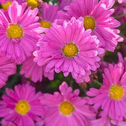 Chrysanthemum (Mums) Plants